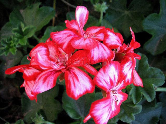 Часто ядовитые комнатные растения