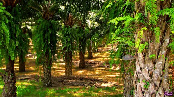 пальмовое масло вред и польза википедия